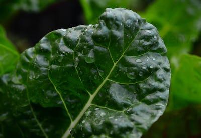 Wet dark green vegetable leaf
