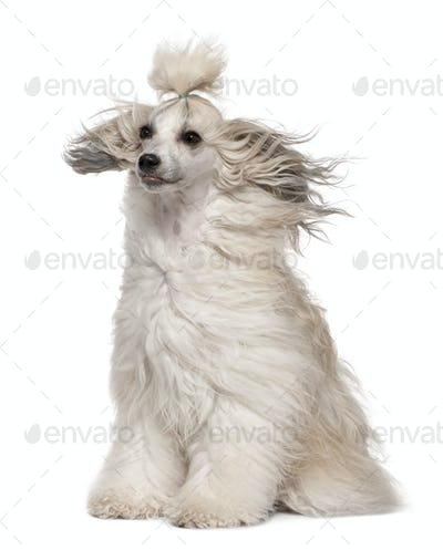 Chinese Crested Dog with hair in the wind, 2 years old, sitting in front of white background