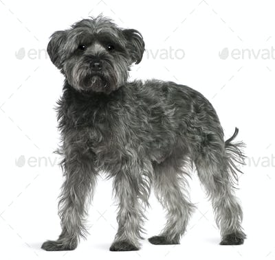 Mixed-breed dog, 4 years old, standing in front of white background