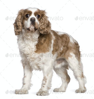 Cavalier King Charles Spaniel, 7 years old, standing in front of white background