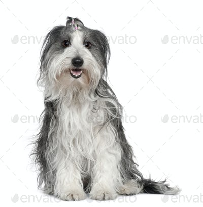 Border collie mixed with a Maltese dog, 2 years old, sitting in front of white background