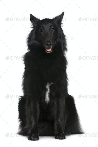 Belgian Shepherd dog, Groenendael, 2 years old, sitting in front of white background