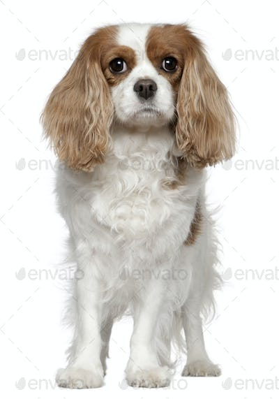 Cavalier King Charles Spaniel, 4 years old, standing in front of white background
