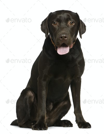 Labrador, 14 months old, sitting in front of white background