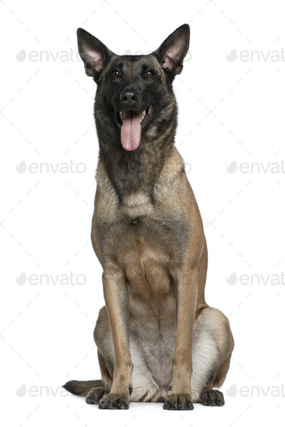 Belgian Shepherd dog, 3 and a half years old, sitting in front of white background