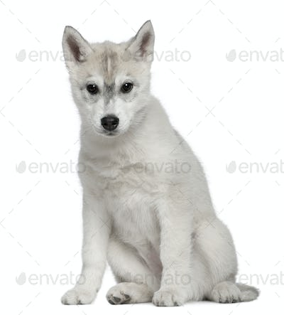 Siberian Husky, 12 weeks old, sitting in front of white background
