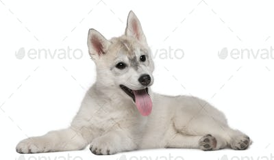 Siberian Husky, 12 weeks old, lying in front of white background