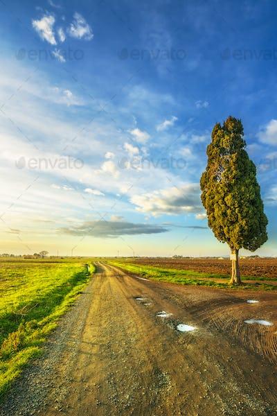 Country road and cypress tree in Bibbona. Maremma, Tuscany, Italy