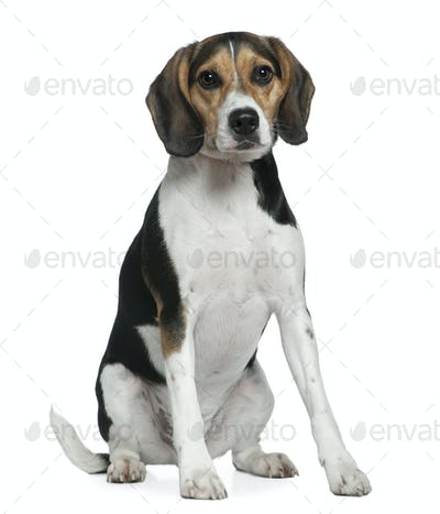 Beagle, 2 years old, sitting in front of white background