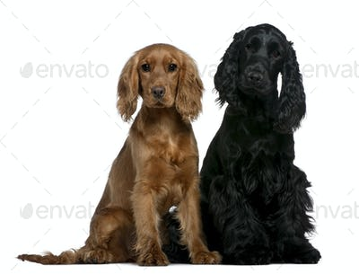 Two English Cocker Spaniels, 10 months and 6 months old, sitting in front of white background