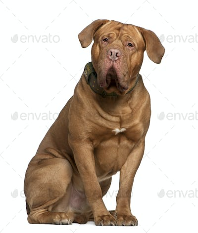 Dogue de Bordeaux, 2 and a half years old, sitting in front of white background