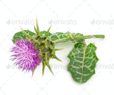 Silybum marianum (Milk Thistle).  Medical plantsal plants