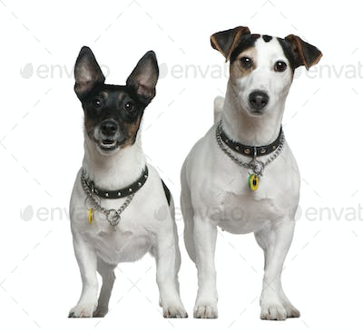 Two Jack Russell Terriers, 3 years old and 4 years old, standing in front of white background