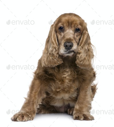 English Cocker Spaniel, 12 years old, sitting in front of white background