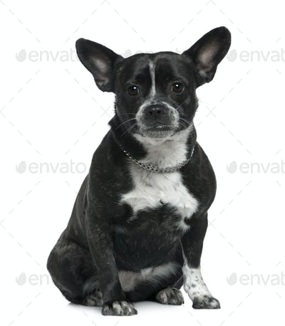 Mixed bulldog, 3 years old, sitting in front of white background