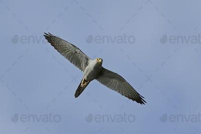 Grey kestrel (Falco ardosiaceus)