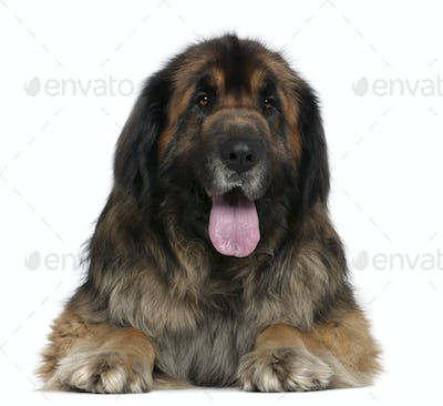 Leonberger dog, 5 years old, in front of white background