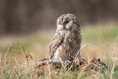 Ural Owl (Strix Uralensis) standing on a tree stump