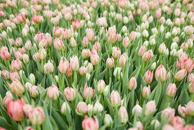 Beautiful Tulips in Flower Plantation