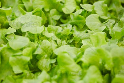 Fresh Green Lettuce Background