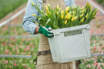 Worker Carrying Fresh Tulips