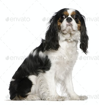 Cavalier King Charles Spaniel, 3 years old, sitting in front of white background