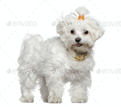 Maltese dog, 3 years old, standing in front of white background