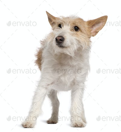 Jack Russell Terrier, 1 and a half years old, standing in front of white background