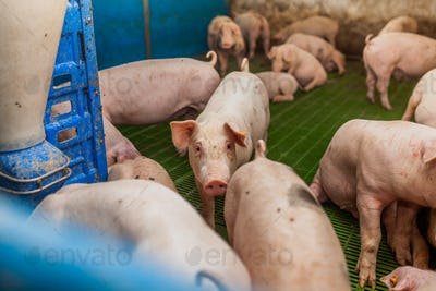 pigs in the pigsty livestock pork production