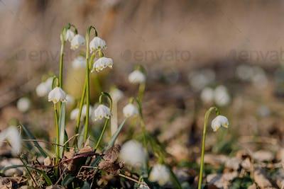Spring Snowflake (Leucojum vernum) First spring flowers