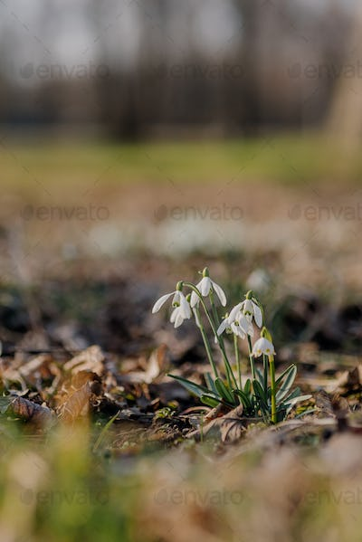 Close up gathering of fresh early spring snowdrops, Galanthus nivalis flower