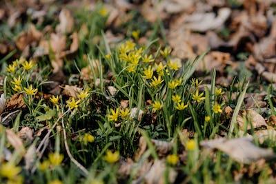 Yellow star of Bethlehem (Gagea lutea) early spring flower