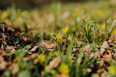 Gagea lutea, Yellow Star of Bethlehem blooming in park