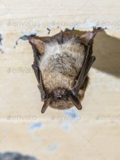 Hibernating whiskered bat