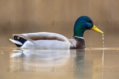 Male Wild Mallard Duck swimming