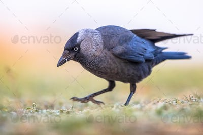Western jackdaw on bright background