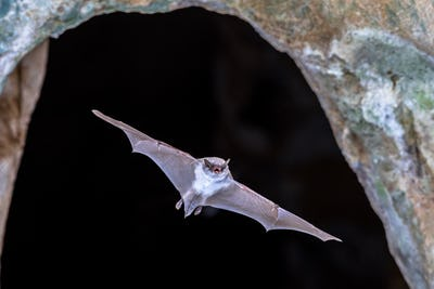 Long-fingered bat flying from cave