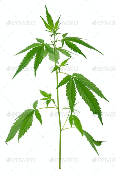 A young new growing cannabis (marijuana) plantsts