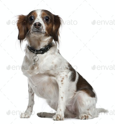 Mixed breed dog, 3 years old, sitting in front of white background