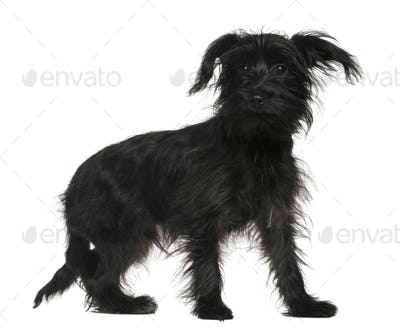 Shih-Tzu mixed with a Yorkshire Terrier, 5 months old, standing in front of white background
