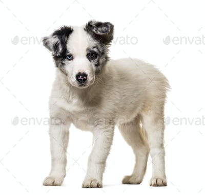 Puppy Border collie Dog, cut out