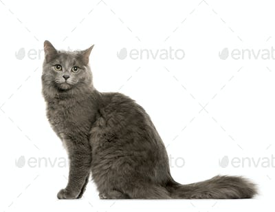 Profile of Grey Sitting Chartreux Cat, cut out