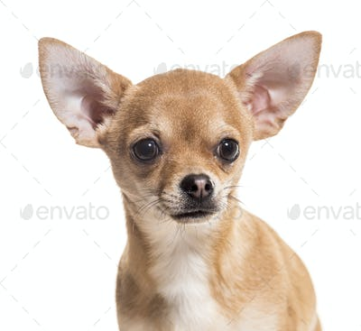 Close-up of chihuahua dog, cut out
