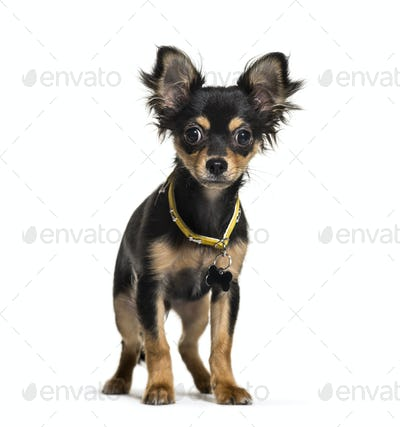 Standing Chihuahua dog in front of a white background
