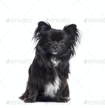 Black Chihuahua dog sitting, cut-out