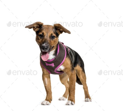 Standing and panting Mixed-breed dog, isolated on white