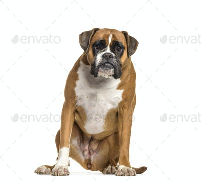 Boxer dog sitting, cut out