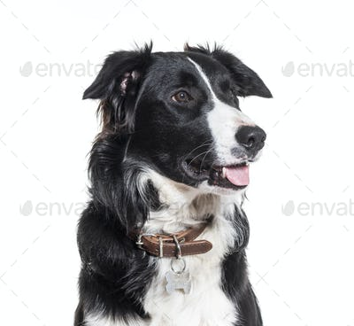 Close-up of border Collie dog panting, cut out