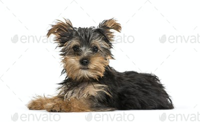 Yorkshire Terrier dog lying in front, cut-out