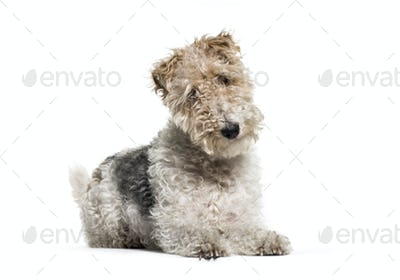 Lying down Fox Terrier dog, isolated on white
